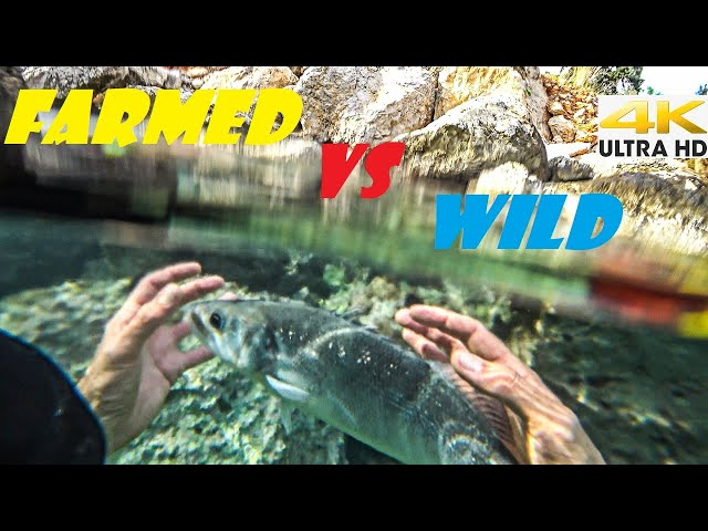 FARMED VS WILD SEABASS☣️Catching Fish By Hand |Spearfishing Life 🇬🇷 [4K]✅