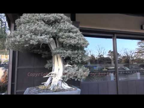 "Japan Trip 2015 Tokyo Bonsai 150 years Juniperus rigida (tosho) garden ""Showa Memorial Park"""