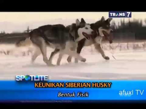 Spotlite - Keunikan Anjing Siberian Husky