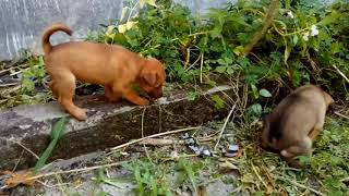 Puppy Usia 2 Bulan Mix Kintamani X Anjing Kampung Youtube