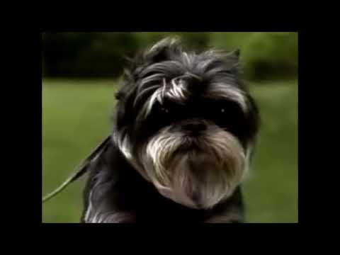 Affenpinscher Dog breed