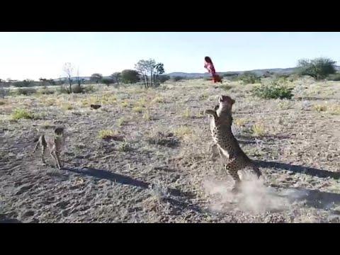Fierce Fridays: Cheetah meat -ah   cheetahs eating   cheetahs roaring   cheetahs 2019   wild cheetah