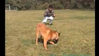 训狗视频教程如何训练你的爱犬上.