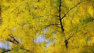 Осенние ветки лиственницы | Футажи Красивая природа [FullHD]