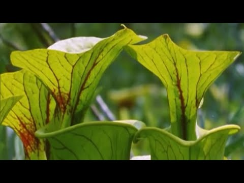 Attenborough: Venus Fly Trap - BBC Earth