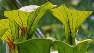 Attenborough: Venus Fly Trap | BBC Earth