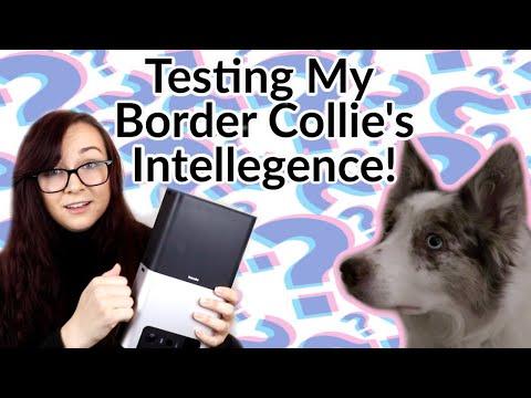 Just How Smart is My Border Collie?!   Petcube Bites 2 Camera Challenge