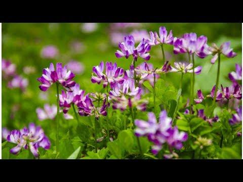 Astragale Plante : Comparatif - Crème - Avis |  Quels sont les bienfaits ?