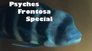 Psyches Frontosa Special