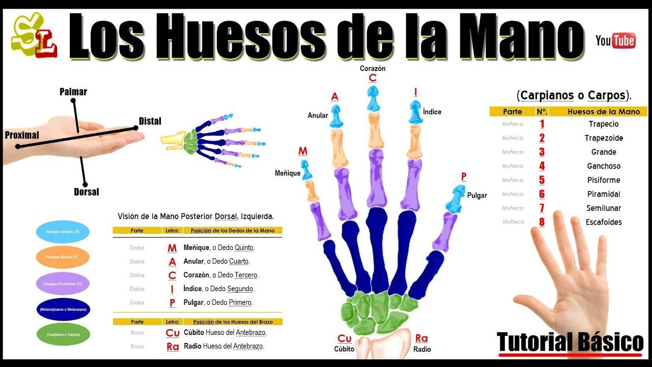 Cuántos Huesos hay en la Mano? los Huesos de la Muñeca, los Nombres ...
