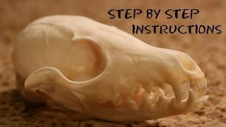 How To: Clean A skull The Easy Way - Step By Step Instructions - European Fox Mount