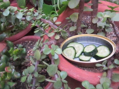 C mo atrapar caracoles y babosas doovi for Como eliminar los mosquitos del jardin