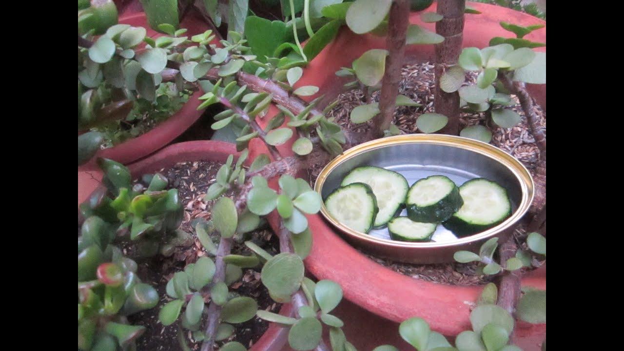 Pepino para ahuyentar mosquitos babosas y gusanos del for Ahuyentar los gatos del jardin