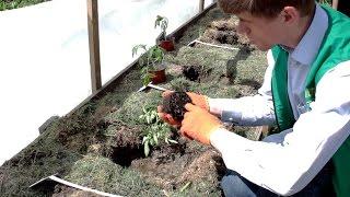 15 кг помидор с куста. Высадка в грунт рассады на Органическом и Минеральном удобрение.