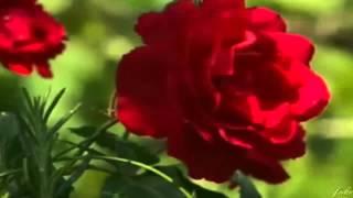 роза белая роза красная
