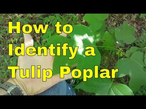 How To Identify a Tulip Poplar Tree