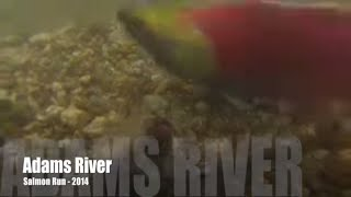 Adams River Salmon Run - 2014