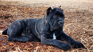 introducing-our-highly-anticipated-new-stud-from-scandifio-cane-corso