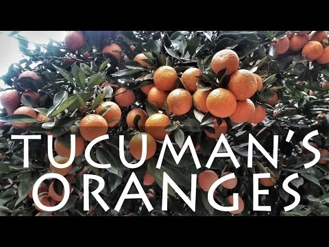 Orange Trees in Tucuman, Argentina