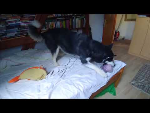 Alaskan Malamute is playing in my bed