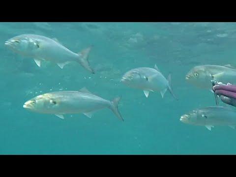 Podvodni ribolov 13.09.2018. Lov u plitkom.Pesca sub - tre tiri nell bassofondo Spearfishing Croatia