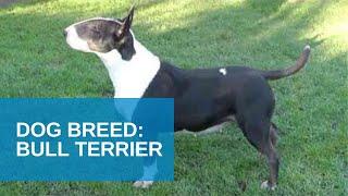 Dog Breed Video: Bull Terrier