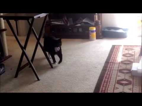 "[FUNNY CAT VIDEO] Dylan the Cat Playing Fetch (""Longie"" Manx)"