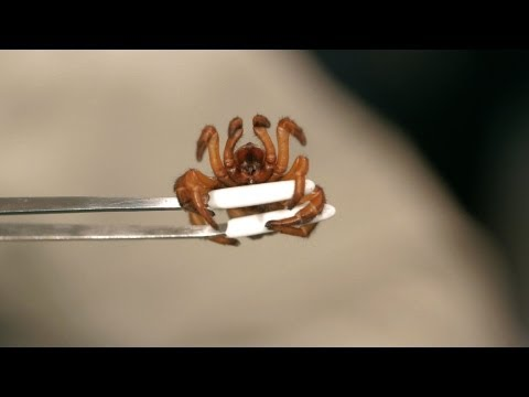 5 Red Trapdoor Spider Facts & Care Tips | Pet Tarantulas