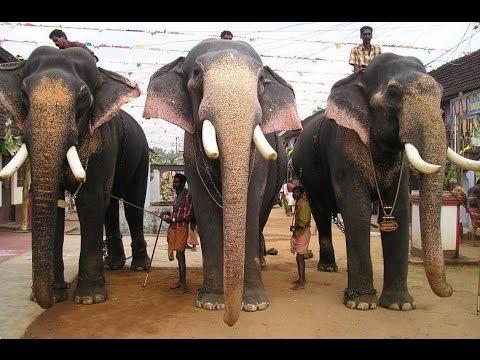 UTHRALIKKAVU POORAM2015 / participated elephants/ star elephants/thechikottukavu ramachandran/sivas