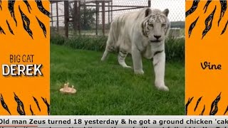 Funniest BigCatDerek Vines Compilation | Funniest Vines of All Time