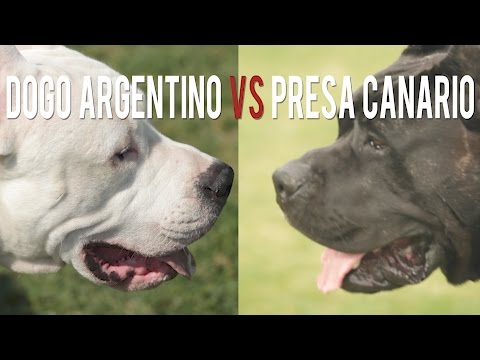 DOGO ARGENTINO vs. PRESA CANARRIO: TWO BIG CATCH DOGS