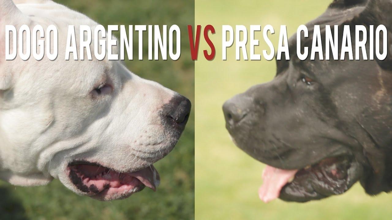 Pure Dogo Argentino Breeder