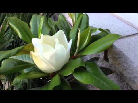 Magnolia Grandiflora in Ontario