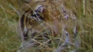 Tigres en acción