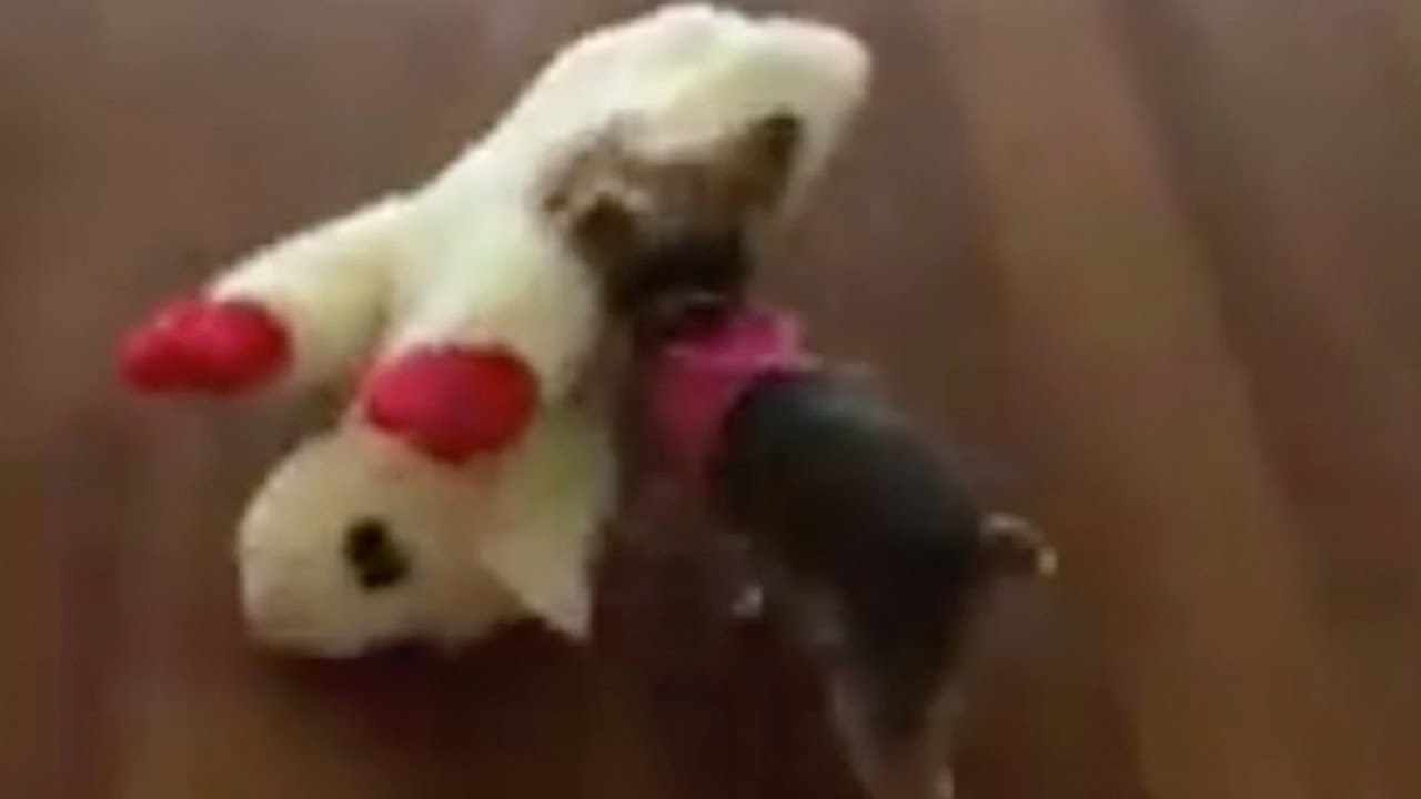 Wait Until You See How Far This Yorkie Pup Takes This Toy That Is