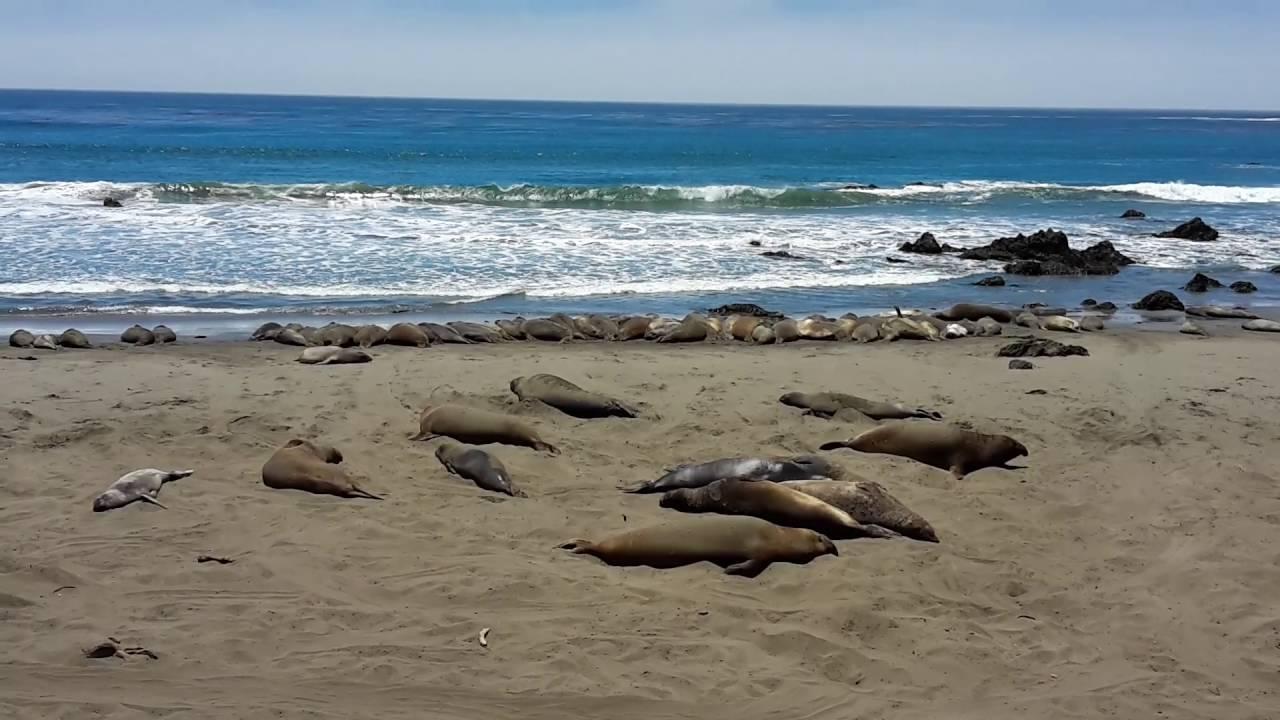 Sea Lion San Simeon Beach California