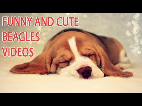 Funny and Cute Beagle Puppies Compilation   Cutest Beagles Videos