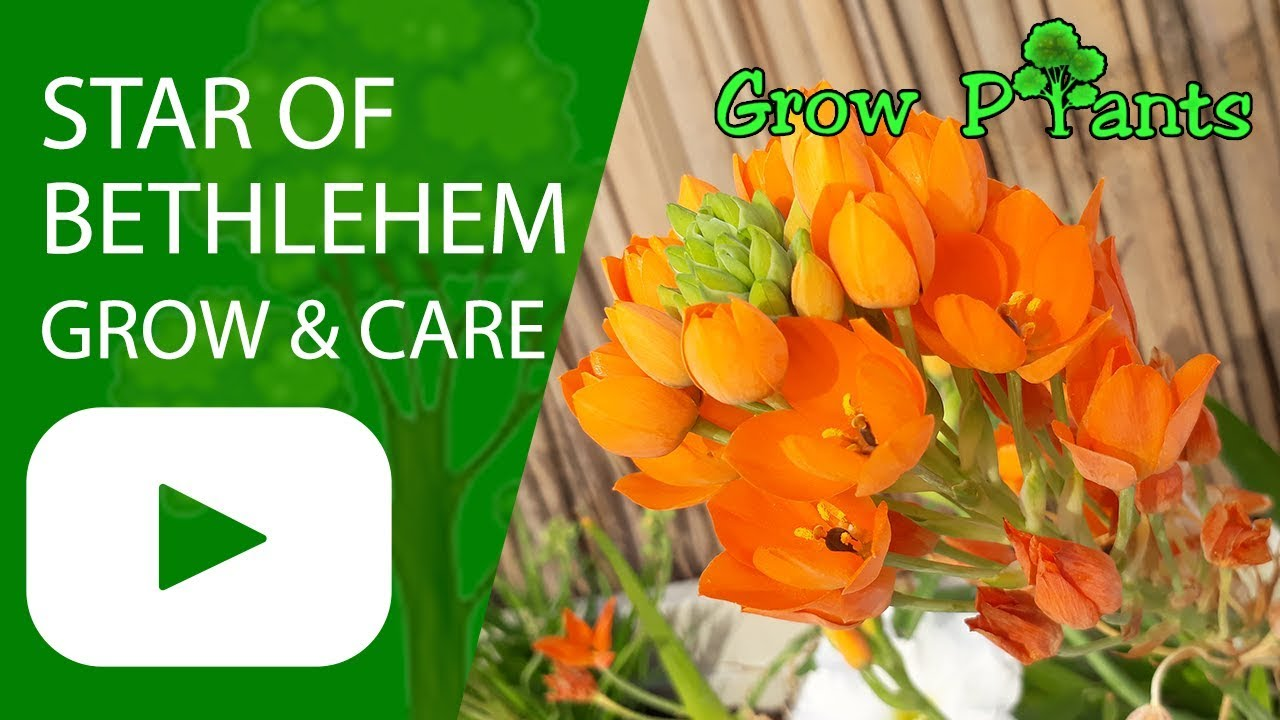 Star Of Bethlehem Flower Growing And Care