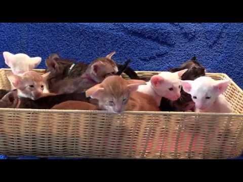 Toverballennest van Oosters korthaar en Siamese kittens