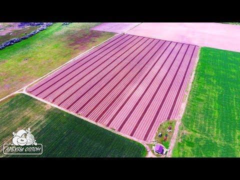 Рожь - Сидераты (зеленые удобрения)