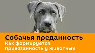 Собачья преданность. Как формируется привязанность у животных