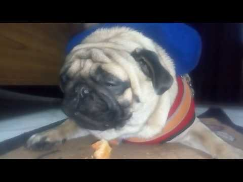 pug-eating-himalayan-dog-chew-asmr