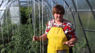 Болезни помидоров. Фитофтора на помидорах. Как бороться с фитофторой.(Помидоры. Как бороться с фитофторой., 2014-06-13T09:08:41.000Z)