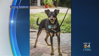 Wilton Manors Man Loses Dog After Being Attacked