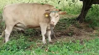 Chełm krowa na łące pasie się 22 Lipca 2017 gmina Chełm powiat Chełmski