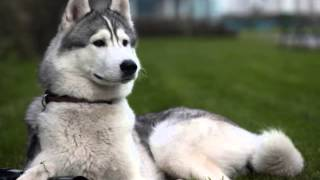 Siberian Husky Puppies For Sale In Pa