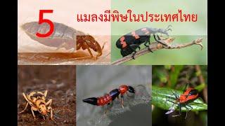 #อันตราย 5 แมลงพิษในประเทศไทยที่พบได้ทั่วไป