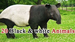 Video Black and White animals of the world download MP3, 3GP, MP4, WEBM, AVI, FLV Juni 2018
