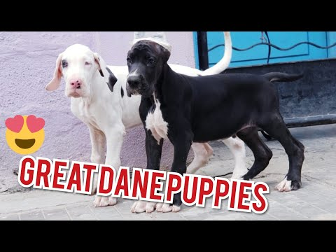 Great Dane Puppies Available. Both European & American Lines. Black, Fawn, Marle & Harle Great Danes