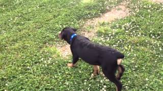 George German Shepard Mastiff Mix Caesar Rottweiler